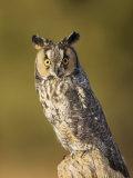 Female Long-Eared Owl  Asio Otus  USA