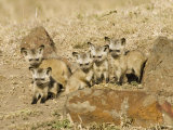 Bat-Eared Fox Young Near their Den  Otocyon Megalotis  East Africa