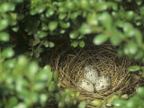 Northern Cardinal Eggs in the Nest (Cardinalis Cardinalis)  Eastern North America