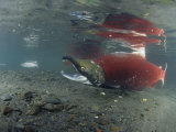 A Male Sockeye Salmon on its Spawning Area (Oncorhynchus Nerka)  Kodiak Island  Alaska  USA