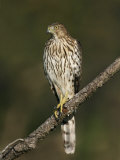 Cooper's Hawk  Accipiter Cooperii  Juvenile Perched on a Branch Looking for Prey  North America