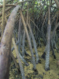 Mangrove Prop Roots Exposed at Low Tide  Fiji  Pacific Ocean