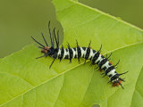 Royal Moth Second Instar Caterpillar Eating a Leaf (Citheronia Aroa) Ecuador