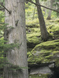 Western Red Cedar Forest  Thuja Plicata  with Nearby Mossy Rocks  Western North America