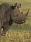 Black Rhinoceros Head  Diceros Bicornis  an Endangered Species  Kenya  Africa