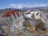 American Badger Digging a Burrow  Taxidea Taxus  Western North America