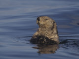 Sea Otter  Enydra Lutris  Surfacing from a Dive  California  Usa  Pacific Ocean