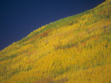 Quaking Aspens in the Fall  Populus Tremuloides  Western North America