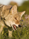 Coyote Snarling and Showing its Teeth (Canis Latrans)