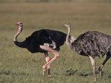 Ostrich Pair (Struthio Camelus Massaicus)  Masai Mara Game Reserve  Kenya  Africa