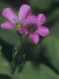 Violet Wood Sorrel Flowers (Oxalis Violacea)  Eastern North America