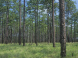 Longleaf Pine  Pinus Palustris  Forest and Savanna  Southeastern USA