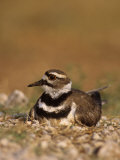 Killdeer Incubating Eggs on its Nest  Charadrius Vociferus  North America