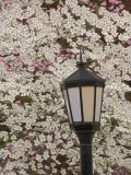 Lamp and Flowering Dogwood Tree  Cornus Florida  Audubon Neighborhood  Louisville  Kentucky  USA