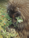 Porcupine  Erethizon Dorsatum  Eating Plants  North America