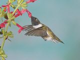 Male Black-Chinned Hummingbird  Archilochus Alexandri  Nectaring at a Flower  Western USA