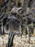 Roadrunner Sunbathing  Geococcyx Californianus  Western North America