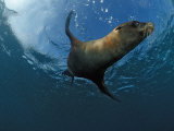South African Fur Seal Swimming (Arctocephalus Pusillus Pusillus)  South Africa