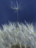 Common Dandelion (Taraxacum Officinale) Gone to Seed