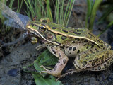Northern Leopard Frog (Rana Pipiens) Eating a Dragonfly