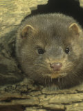 Mink in a Hollow Den Tree (Mustela Vision)  North America