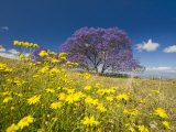 Jacaranda Tree in Bloom in a Field of Wildflowers (Jacaranda Mimosifolia)  Maui  Hawaii