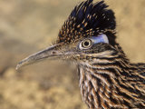 Greater Roadrunner Head  Geococcyx Californianus  Arizona  USA