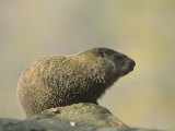 Woodchuck or Groundhog (Marmota Monax)  North America