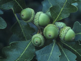 Gambel Oak Tree Leaves and Acorns  Quercus Gambelii  Southwestern North America