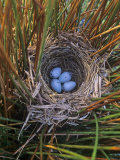 Red-Winged Blackbird Nest with Four Eggs in a Marsh  Agelaius Phoeniceus  North America