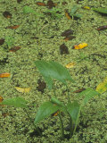 Arrowhead  Sagittaria Latifolia  and Duckweed  Lemna  in a Wetland Habitat  North America