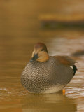 Male Gadwall Duck  Anas Strepera  North America