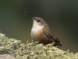 Canyon Wren (Catherpes Mexicanus)  California  USA