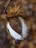 Cotton Boll Opening  Gossypium Hirsutum