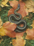 Eastern Garter Snake (Thamnophis Sirtalis Sirtalis)