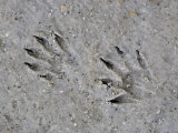 Raccoon Tracks in the Mud  Procyon Lotor  USA