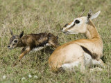 A Thomson's Gazelle with its Newborn Fawn  Gazella Thomsonii  East Africa