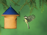 Carolina Chickadee Flying to a Nest Box or Bird House with Food in its Bill  Eastern USA