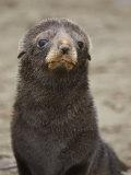 Antarctic Fur Seal (Arctocephalus Gazella) Pup Face  South Georgia