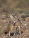 Kit Fox (Vulpes Macrotis)  Southwestern North America