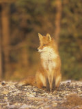 An Alert Red Fox (Vulpes Vulpes)  Katmai National Forest  Alaska  USA