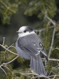 Gray Jay (Perisoreus Canadensis)  USA