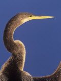Anhinga Head Held High While its Wings are Drying  Anhinga Anhinga  Florida  USA