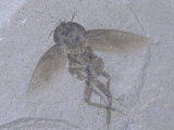 Fossil Cockroach  Green River Formation  Colorado  Usa Eocene  48 MYA