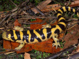 Barred Tiger Salamander (Ambystoma Mavoritum) Arizona  USA