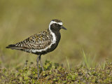 Pacific Golden-Plover (Pluvialis Fulva)  North America