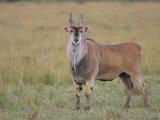 Large Bull Eland  Taurotragus Oryx  Maasai Mara  Kenya  Africa