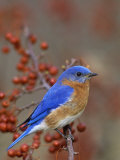 Male Eastern Bluebird in Crabapple (Sialia Sialis)  North America Missouri State Bird