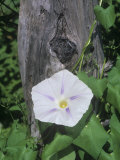 Morning Glory Flower and its Twining Stem  Flying Saucers Variety (Ipomoea)