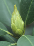 Rhododendron Flower Bud